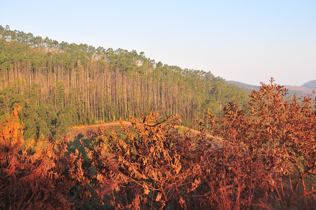 Eucalyptus sur la piste qui relie Bulembu à Piggs Peak - Swaziland