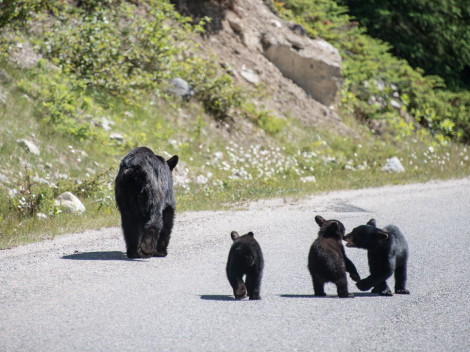 Canada-Ours noirs-5