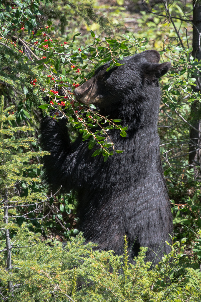 Canada-Ours noirs-6