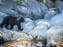 Canada-Ours noirs-9