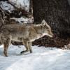 Yosemite – Coyote in the snow