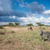 Drama zebra