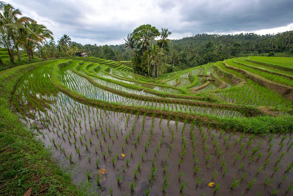 rizieres belimbing bali indonesie